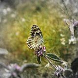 farfalla_sui_fiori[1]